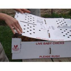 Chicks Box