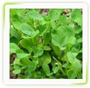 Fenugreek (Methi) Herbal Extracts