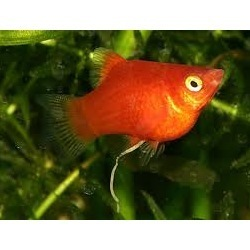 Platies Fish Gallery Red Platy Fish Exporter From Chennai