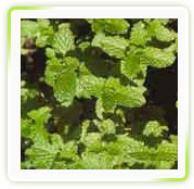 Mentha Arvensis Linn Herbal Extracts