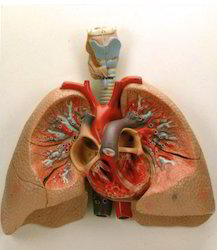 Human Lungs With Heart & Larynx, 5 Parts