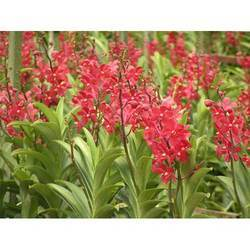 Mokara Red