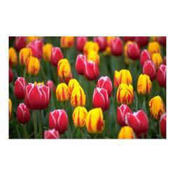 Tulip Perfume Oils