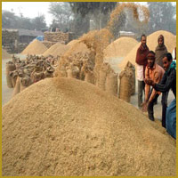 Wheat Bran Powder