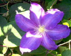 Clematis Oil