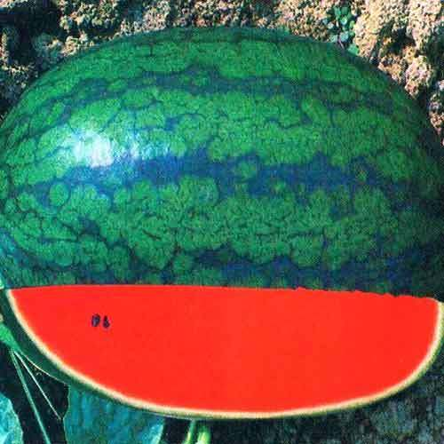 Karina King Watermelon Seeds