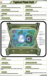 Typical Plant Cell  For Botany Chart