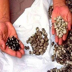Mucuna Seeds/ Mucuna Pruriens
