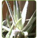 Aloe Varieties