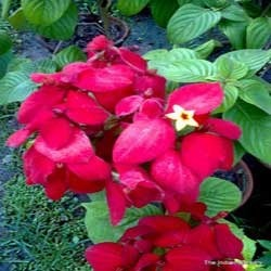 Mussaenda erythrophylla