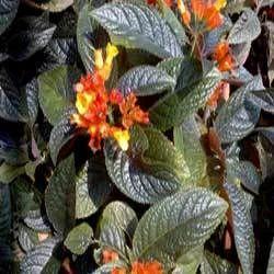 Chrysothemis pulchella / Black Flamingo / Copper leaf