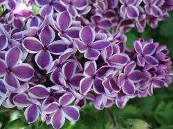 Lilac Perfume Oils