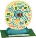 Typical Plant Cell
