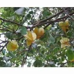 Kamranga (Sweet)