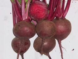 Beet Root Hybrids