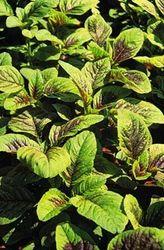 Amaranths Hybrids