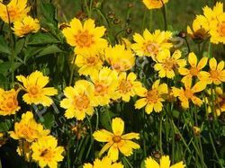 Cosmos Sulphureus Bright Light Mix