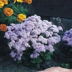 Ageratum Hustonianum Blue Mink
