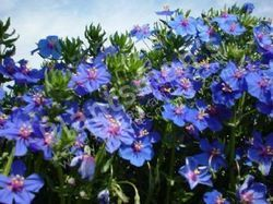 640 - Anagalis Arvensis Grandiflorum Blue
