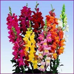 - Antirrhinum Majus Nanus Snapdragon Semi Tall Mix