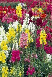 - Antirrhinum Majus Snapdragon Maximum Tall Mix