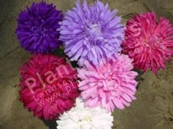 Callistephus Chinenesis Aster Ducess Formula Mix