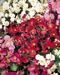 Begonia Semperflorens Dwarf Mix