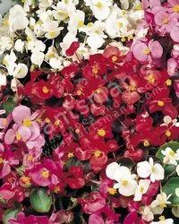 Begonia+Semperflorens+Dwarf+Mix