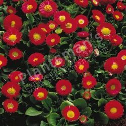 Bellis Perennis Monstrosa English Daisy Dbl Red