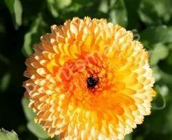 - Calendula Officinalis Balls' Apricot