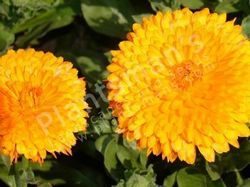 Calendula Officianalis Balls' Double Ornage