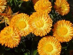 - Calendula Officinalis Pacific Beauty Mix