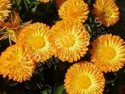 -+Calendula+Officinalis+Pacific+Beauty+Mix