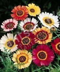 -+Chrysanthemum+Carinatum+Sweet+Merry+Mix