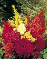 Celosia Plumosa Golden Fire