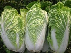 Chinese Cabbage Pmls Special