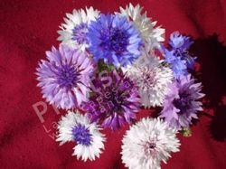 - Centaurea Cyanus Corn Flower Frosty Mix