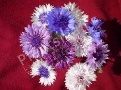 -+Centaurea+Cyanus+Corn+Flower+Frosty+Mix