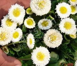- Bellis Perennis Monstrosa English Daisy Dbl White