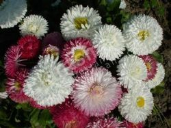 Bellis Perennis Monstrosa English Daisy Dbl Mix