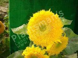 - Helianthus Annus Sunflower Sungold Dwarf