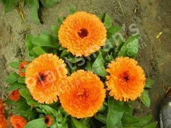- Calendula Officinalis Fiesta Gitana Mix