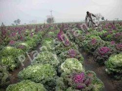 - Brassica Oleracea Oranmental Kale Mix