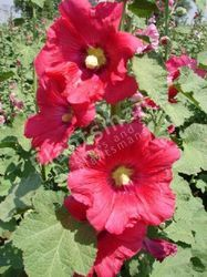 - Alcea (Althea) Rosea Hollyhocks Summer Carnivals