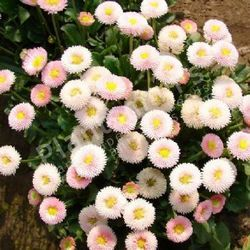 Bellis Perennis Daisy Pomponet Red