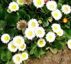 Bellis Perennis Daisy Pomponet White