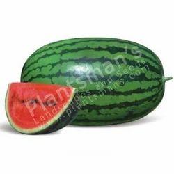 Watermelon Pmls 258 F1