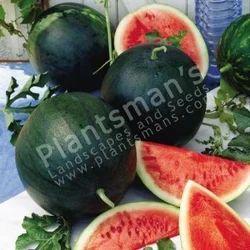 Watermelon+Sugarbaby