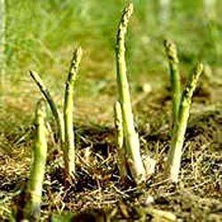 safed musli asparagus adscendens