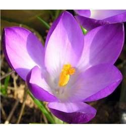 Violet Perfume Oils